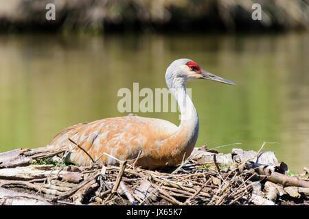 nesting Lesser Sandhill Crane, Antigone canadensis canadensis, George C. Reifel Migratory Bird Sanctuary, Delta, - Stock Photo