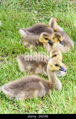 goslings, Canada geese, Branta canadensis, Burnaby Lake, Burnaby, British Columbia, Canada - Stock Photo