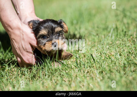 Man assisting his cute, tiny Yorkshire Terrier puppy who is experiencing his first trip outside on a lawn in Issaquah, - Stock Photo