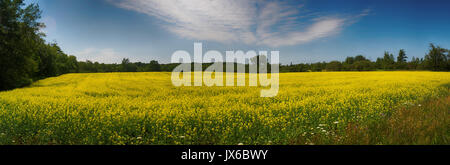Panoramic view of blooming yellow rapeseed field under blue sky during the summer in Collingwood, Ontario - Stock Photo