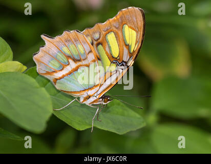 Siproeta stelenes (malachite) is a neotropical brush-footed butterfly (family Nymphalidae) - Stock Photo