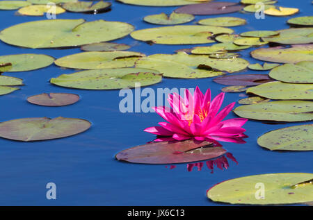 Bright pink water lily duplicates  in the blue water - Stock Photo