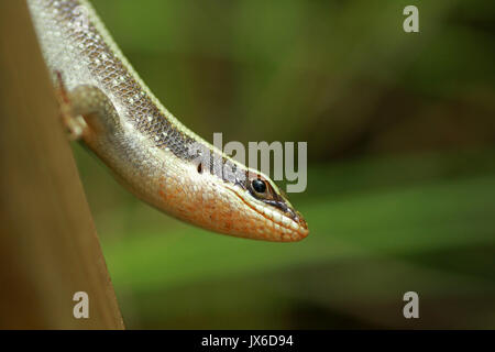 African striped skink, Kruger National Park, South Africa - Stock Photo