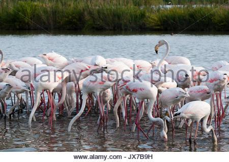 A flock of greater flamingos, Phoenicopterus roseus, feeding in a lagoon. - Stock Photo