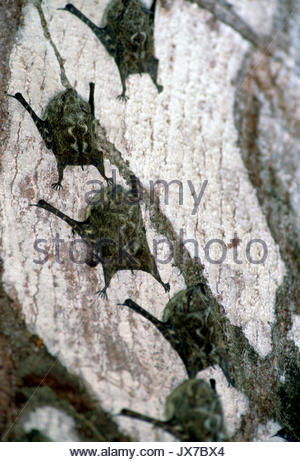 Proboscis, or long-nosed bats, Rhynchonycteris naso, clinging to a wooden substrate. - Stock Photo
