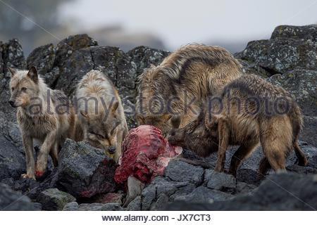An island pack of coastal wolves devours a dead sea lion. - Stock Photo