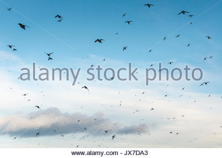 A flock of common guillemot, Uria aalge, on Hornoya Island. - Stock Photo