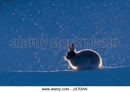 Mountain hare, Lepus timidus, in snow. - Stock Photo