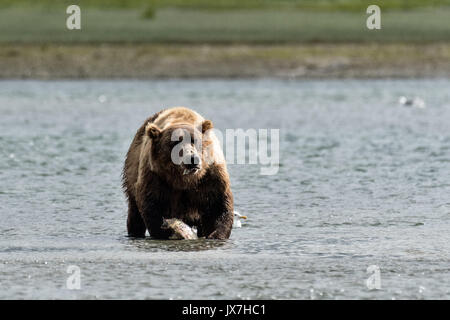 A grizzly bear boar eats chum salmon moments after catching it in the lower lagoon at the McNeil River State Game - Stock Photo