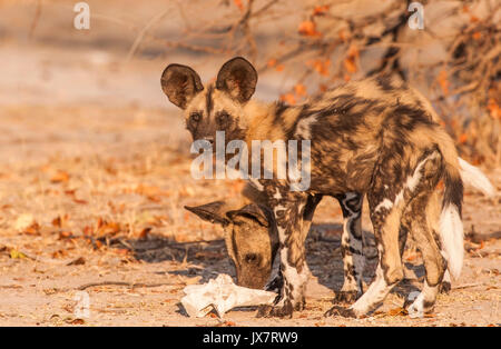 African Wild Dogs, Lycaon pictus, at Linyanti Wildlife Reserve in northern Botswana. - Stock Photo