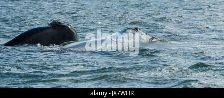 Southern Right Whale, Eubalaena australis, in Plettenberg Bay at Plettenberg, South Africa. - Stock Photo