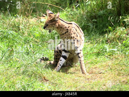 Female African Serval (Leptailurus serval). - Stock Photo