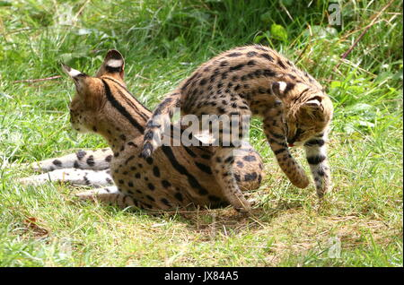 Mother African Serval (Leptailurus serval) with frolicking newborn cub - Stock Photo