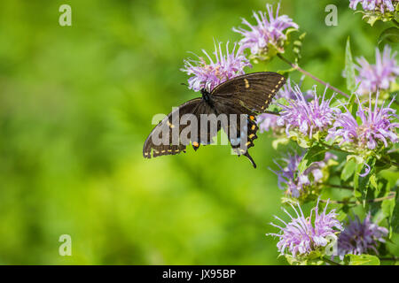 Spicebush Swallowtail (Papilio troilus) butterfly with a broken wing perched on bee balm flower - Stock Photo