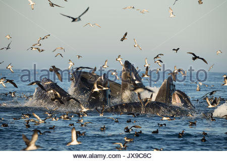 Humpback whales feast on fish that have congregated in the warm waters of Monterey Bay, California. - Stock Photo