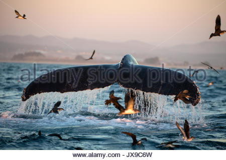 A humpback whale dives in the warm waters of Monterey Bay, California. - Stock Photo