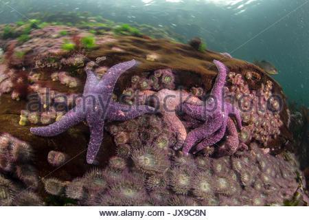 Ochre starfish in waters off the coast of British Columbia. - Stock Photo