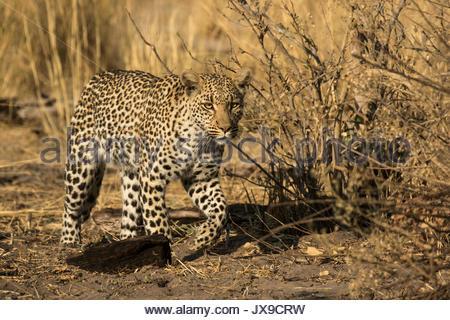 A female leopard in the Okavango Delta's Moremi Game Reserve. - Stock Photo