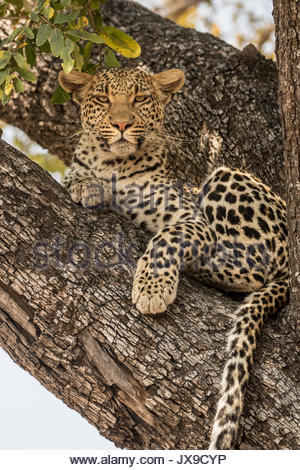 A female leopard rests on a tree branch in the Okavango Delta's Moremi Game Reserve. - Stock Photo