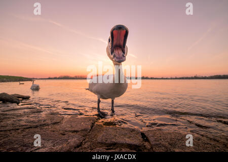Hissing mute swan (Cygnus olor) by the Rhine, sunset, Baden-Württemberg, Germany - Stock Photo