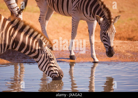 Burchell's zebra's drinking at a waterhole in Addo Elephant National Park in South Africa. - Stock Photo