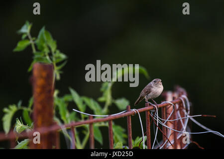 House wren perched on a rusty wire fence - Stock Photo