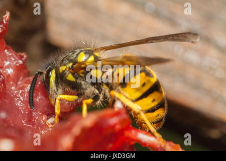 One of natures cleaners the common wasp (Vespula vulgaris) is seen removing the flesh from the remains of a dead - Stock Photo