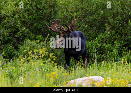 In this shot a bull moose (Alces alces) walks among the willows and wildflowers at Albion Basin, Alta, Utah, USA. - Stock Photo