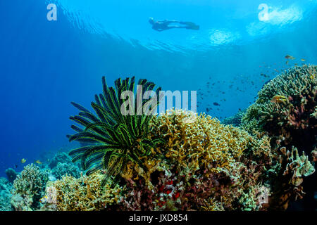 Young woman snorkeling in beautiful Coralreef and Capillaster sentosus, Thorny feather star, Selayar Island, Indonesia, - Stock Photo