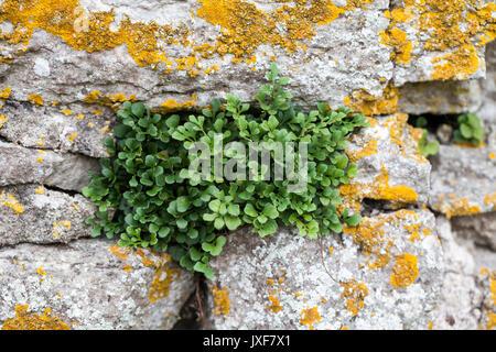 Wall tue (Asplenium ruta-muraria) - Stock Photo