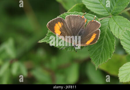 A rare Brown Hairstreak (Thecla betulae) perched on a leaf with its wings spread. - Stock Photo