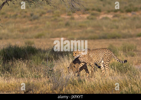 wildlife safari of cheetahs in the wild at the kgalagadi transfrontier park bordering south Africa Namibia and botswana - Stock Photo
