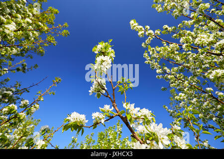 Beautiful cherry blossom in spring time at blue sky