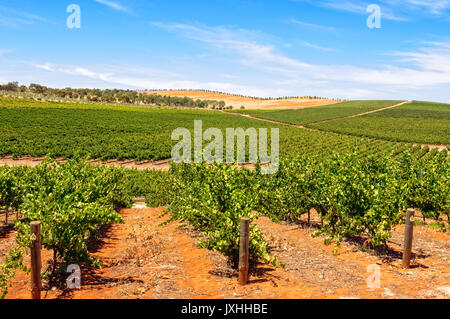 Rows of vines -  Clare Valley, SA, Australia - Stock Photo
