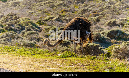 Female Ostrich in Cape Point Nature Reserve on the Cape Peninsula in South Africa - Stock Photo