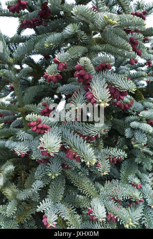 Noble fir (Abies procera 'Glauca') - Stock Photo
