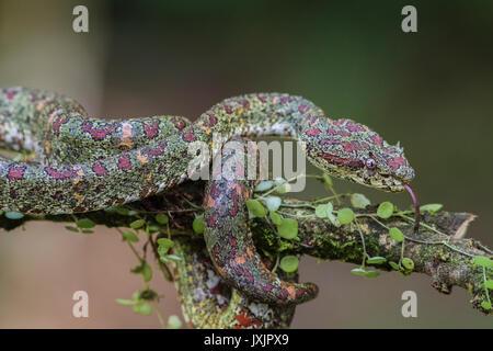 Eyelash viper, Bothriechis schlegelii lying in a tree with his tongue sticking out at Laguna del lagarto, Boca Tapada, - Stock Photo