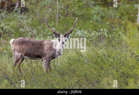 Reindeer, Rangifer tarandus standing in a forest in Stora sjöfallets national park and looking in to the camera, - Stock Photo