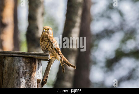 Female Common kestrel, Falco tinnunculus, sitting on top of a bird-house looking in to the camera, Norrbotten, Sweden - Stock Photo