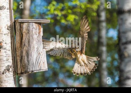 Female Common kestrel, Falco tinnunculus, flying towards a bird-house, Norrbotten, Sweden - Stock Photo