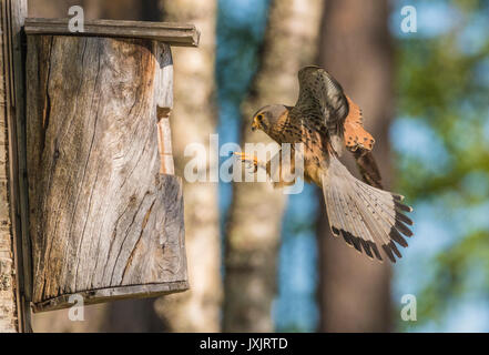 Male Common kestrel, Falco tinnunculus, flying towards a bird house, Norrbotten, Sweden - Stock Photo