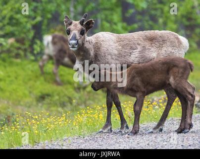 Reindeer cow, Rangifer tarandeus, with her calf, looking in to the camera, Gällivare, Swedish Lapland, Sweden - Stock Photo