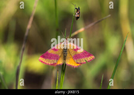 A purple-barred yellow is sitting on a grass-stock - Stock Photo