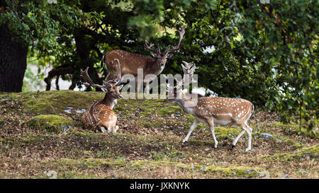 Three fallow deer bucks (Dama dama)  resting under the shadow of the oak with a nice woodland scenery in the background. - Stock Photo