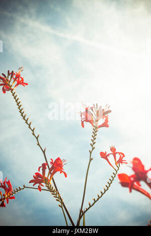 Crocosmia 'Lucifer' - Stock Photo