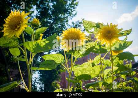 Sunflowers in an urban community garden on Wednesday, August 9, 2017. (© Richard B. Levine) - Stock Photo