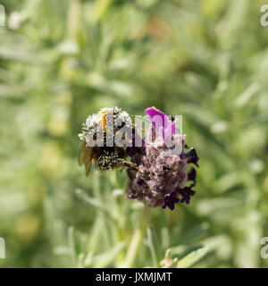 White tailed bumblebee (Bombus lucorum) covered in pollen, feeding on french lavender flower in an english garden - Stock Photo