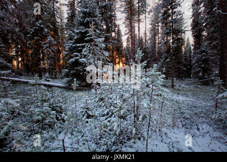The low winter sun shines through tree trunks in a wintry forest. - Stock Photo