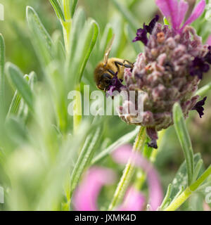 Honey bee (Apis mellifera) feeding on french lavender flowers in an english garden in summertime - Stock Photo