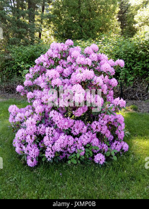 Rhododendron catawbiense in full bloom. - Stock Photo